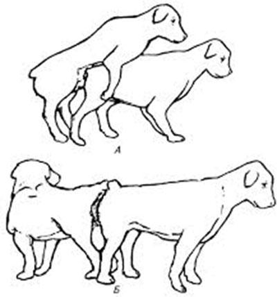Позы собак при спаривании:
